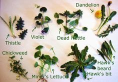 Weeds to feed a Russian Tortoise