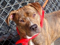 TO BE DESTROYED - 03/23/15 Manhattan Center -P My name is ABE. My Animal ID # is A1029908. I am a male br brindle and white am pit bull ter mix. The shelter thinks I am about 1 YEAR old. https://www.facebook.com/Urgentdeathrowdogs/photos/a.611290788883804.1073741851.152876678058553/975843072428572/?type=3&theater