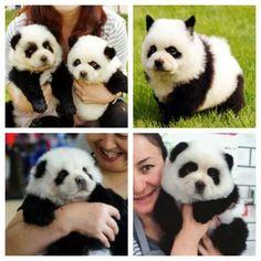 panda dog breed - photo #23
