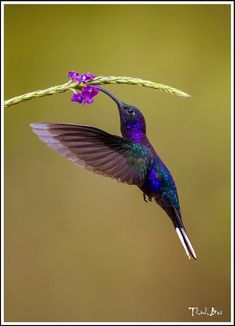 Humming Bird Discover oViolet Sabrewing Hummingbird by Thinh Bui on Pretty Birds, Beautiful Birds, Animals Beautiful, Hummingbird Painting, Hummingbird Tattoo, Exotic Birds, Colorful Birds, Hummingbird Pictures, Tier Fotos