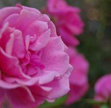 Organic treatment for black spot on roses