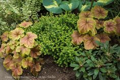 Vignette of Heuchera 'Delta Dawn with Lonicera nitida 'Twiggy', a dwarf evergreen box honeysuckle with gold foliage, and at far right, a dwarf species rhode called Rhododendron recurvoides (Dover form). The bold hosta foliage in the background rounds it out. Extra bonus: this planting combination is evergreen with the exception of the hosta, of course. Planting design and photo credit: Darcy Daniels, Bloomtown Gardens, http://www.bloomtown.net