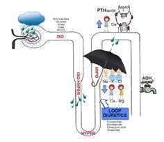 Medical MindMaps for USMLE Step 1: Diuretics: Site Of Action