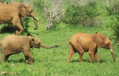 Little Eden loves to play — and she's not about to let Bada get away from the fun and games! Eden is the daughter of DSWT graduate orphan Edie. She's grown into a delightfully spoiled little girl, surrounded by loving nannies and willing playmates. The graduate herd frequently visits our Voi Reintegration Unit, where the still-dependent orphans (like Bada) lavish lots of attention on Eden and the other babies.