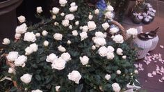 White roses ^_^ <3