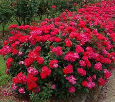 Knock Out® roses are one of the hottest plants to hit the market in the last few years. Colorful, prolific bloomers, requiring minimal care, disease resistant, drought tolerant and in some states like Florida they bloom almost year round. Have you tried them? Are you growing Knockout... #spr #sum