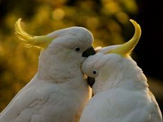 LOVERS Sulphur Crested Cockatoos Moruya NSW Australia By Peter Styring