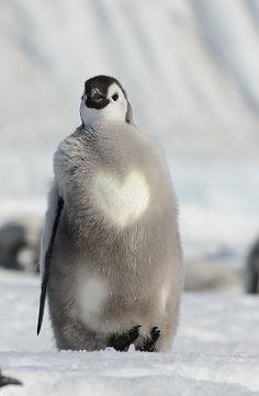 Emperor Penguin Chick, Cape Washington, Antarctica by Clint Kelly Cute Baby Animals, Animals And Pets, Funny Animals, Pinguin Tattoo, Penguin Love, Penguin Craft, Animal Pictures, Cute Pictures, Hamster