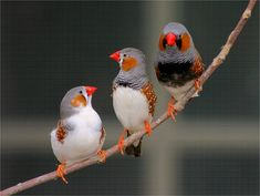 finches ~ several years ago, we received a pair of finches as a house warming present from a neighbor...within the year they had 3 babies ~ we called them the Brady bunch, they used to all snuggle in their nest.  I can still remember the beautiful chorus of tweets <3