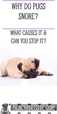 Find out what causes Pug snoring and if there's anything you can do to stop it. Pug Health Problems, Pug Facts, Adult Pug, Old Pug, Black Pug Puppies, Fawn Pug, Fawn Colour, Baby Pugs, Eyes Problems