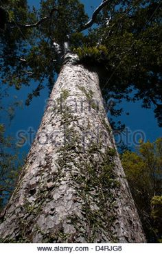 Kauri is a coniferous tree of Araucariaceae in the genus Agathis Stock Photo, Royalty Free Image: 92591294 - Alamy