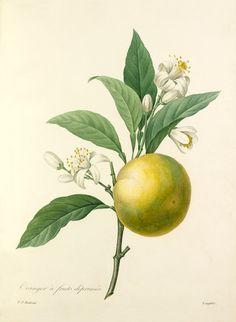 Pierre Joseph Redouté -- Oranger à fruits déprimés -- Pierre-Joseph Redouté -- Artists -- RHS Prints