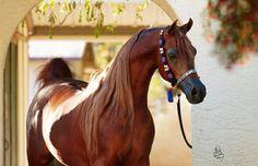 Dark Red Chestnut Arabian