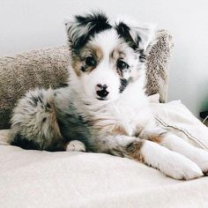 , Australian Shepherd Puppies: Bilder und Fakten - beauty that makes my soul won. , Australian Shepherd Puppies: Bilder und Fakten - beauty that makes my soul wonder - Cute Funny Animals, Cute Baby Animals, Funny Dogs, Funny Memes, Jungle Animals, Nature Animals, Wild Animals, Funny Videos, Farm Animals