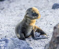 Newborn Galapagos Sea Lion