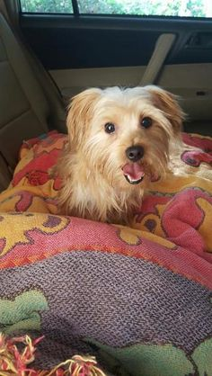 Check out Penelope's profile on AllPaws.com and help her get adopted! Penelope is an adorable Dog that needs a new home. https://www.allpaws.com/adopt-a-dog/maltese-mix-yorkshire-terrier-yorkie/3783111?social_ref=pinterest