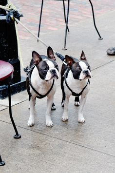 The Boston Terrier breed originated in Boston and is one of the few breeds that are native to the U. Baby Boston Terriers, Boston Bull Terrier, Boston Terrior, Pitbull Terrier, Terrier Puppies, Cute Puppies, Cute Dogs, Bulldog Puppies, Bully Dog