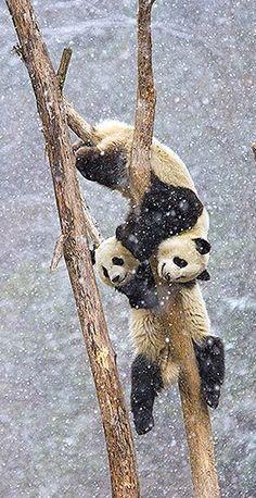 ~~Giant Pandas playing in the snow by Juan Carlos Muñoz~~