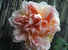 A rose in my old garden, called Cressida