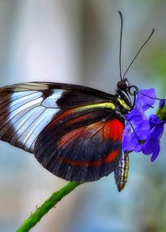 Cyndo Longwing by Evelyn Harrison