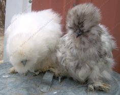 White and Splash Silkie pullets.