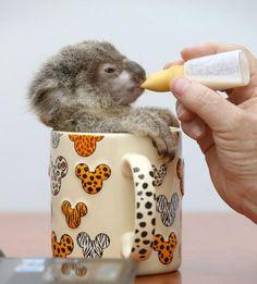 I'll be a big Koala soon!