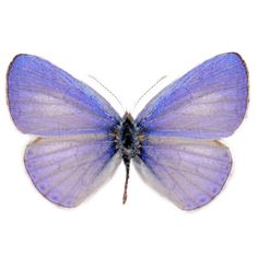 collection BLUE 5 unmounted butterfly lycaenidae udara dilecta CHINA A1 A1