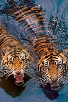 Sumatran Tigers. Like all Tigers, endangered and threatened by poachers