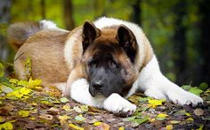 Akita Puppies, Cute Dogs And Puppies, Big Dogs, Lab Puppies, Japanese Akita, Japanese Dogs, Beautiful Dogs, Animals Beautiful, American Akita Dog