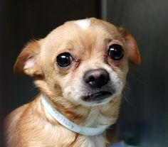URGENT - Manhattan Center   ODIN - A0986422   MALE, TAN / WHITE, CHIHUAHUA SH MIX, 3 yrs  STRAY - STRAY WAIT, NO HOLD Reason STRAY  Intake condition NONE Intake Date 12/02/2013, From NY 10462, DueOut Date 12/05/2013 Original thread:  https://www.facebook.com/photo.php?fbid=719079394771609&set=a.617938651552351.1073741868.152876678058553&type=3&permPage=1