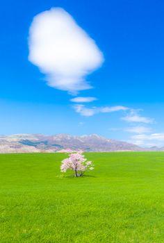 絵本のさくら-lone sakura tree