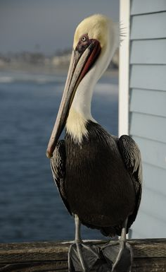pelican at oceanside