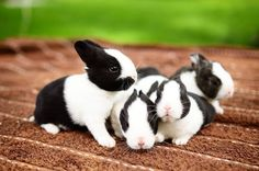 These black and white color bunnies discussing about running race. I think the idea of the bunnies is great !!  Run Rabbit Run .. All the best :) Bunny Paws, Cute Baby Bunnies, Cute Baby Animals, Cute Babies, White Bunnies, Bunny Rabbits, Rabbit Run, Pet Rabbit, Cute Bunny Pictures