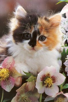 Precious Calico Kitten in the flowers.
