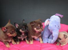 Chihuahua, French Bulldog, Happy, Dogs, Animals, Animales, Animaux, French Bulldog Shedding, Pet Dogs