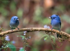 Black-naped Monarch (Female/Male): Press 'M' for Full-screen view Follow me at Facebook: Gurdyal Singh's Photography Finally a dream come true shot captured the couple... male (on right) and female (on left) in same frame :)
