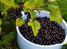 Моя смородина крупнее винограда