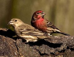 House Finch pair. I have seen two males and one female feeding from my thistle together this spring.
