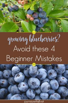 Urban Garden If you're growing blueberries in the near future, make sure you don't make these most common mistakes! - Growing Blueberries this year? It's easier than you think. Avoid these 4 beginner mistakes and you'll be on your way to a bountiful crop! Home Vegetable Garden, Fruit Garden, Edible Garden, Harvest Garden, Strawberry Garden, Veggie Gardens, Winter Garden, Organic Vegetables, Growing Vegetables