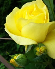 #mells #cottagegarden #joey  #yellowrosebud #fridayblooms #sunshineinapicture Rose is a must-have in the garden so many different varieties to choose from and one for all conditions.