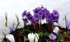 Soldanelle Plant - An incredible flower that grows in the snowy Alps. Beautiful Flowers, Beautiful Pictures, Stunning Photography, Alps, Flora, Scenery, Encouragement, Gardens, The Incredibles