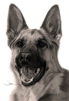 Commission - 'Sasha' the German Shepherd by Captured-In-Pencil on DeviantArt