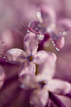 Spring Lilac | by Scott Barlow