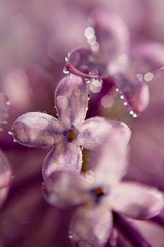Spring Lilac | by Scott Barlow