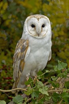 "beautiful-wildlife: "" Barn Owl by Ronald Coulter """