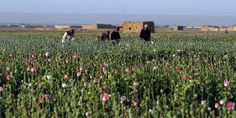 Afghanistan's Poppy Farmers Say New Seeds Will Boost Opium Output