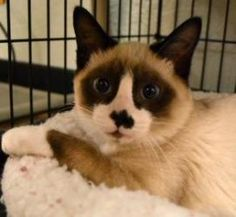 <3 ADOPTED <3 Moxie is an adoptable Siamese Cat in Oklahoma City, OK. Moxie was born in September 2012. For more information about this wonderful pet, click on the link below to our website (then click on 'Adopt' a...