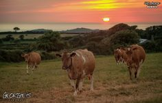 Had to wait until the cows came home for this shot out in the western parishes. #LoveGuernsey #GreatThings #LocateGuernsey #SafeHaven  Link to the whole collection of 'Georgie's Guernsey' :-http://chrisgeorge.dphoto.com/#/album/4daaes  Picture Ref: 17_08_16 — in Guernsey, Channel Islands.
