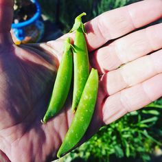 My first #tinyharvest of #sugarsnappeas  I may have eaten a few...ya know to make sure they were ok. #garden #gardener #gardening #green #greenthumb #grow #growfood #growsomethinggreen #growyourownfood #growfoodnotlawns #sustainable #sustainability #thrive #health #organic #gmofree #natural #love #lovethis #loveourlifetogether Re-post by Hold With Hope