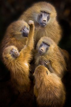 """Baboons 'United' "" 